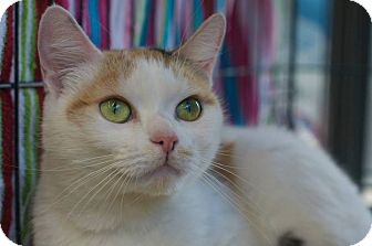 Domestic Shorthair Cat for adoption in New York, New York - Snow White