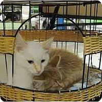 Adopt A Pet :: Amaretto - The Colony, TX