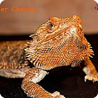 Adopt A Pet :: Chester Cheeto - Arlington, TX