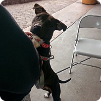 Adopt A Pet :: Mas - Surprise, AZ