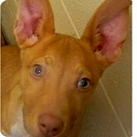 Adopt A Pet :: Pharoh - Springdale, AR