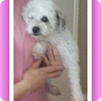 Adopt A Pet :: Star - TX - Tulsa, OK