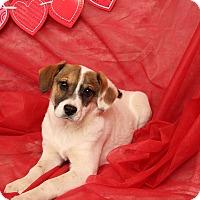 Adopt A Pet :: Addison Beabull - St. Louis, MO