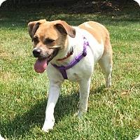 Adopt A Pet :: Cinnamon - Lee's Summit, MO