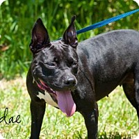 Terrier (Unknown Type, Small)/Staffordshire Bull Terrier Mix Dog for adoption in Middleburg, Florida - Sundae