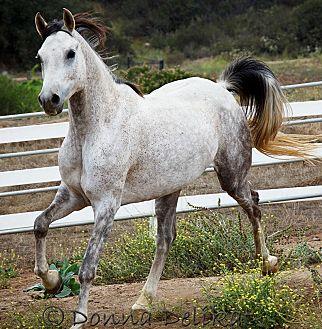 Arabian for adoption in Valley Center, California - Polar Kapp
