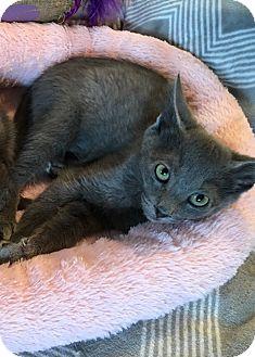Russian Blue Kitten for adoption in Mount Laurel, New Jersey - Reno