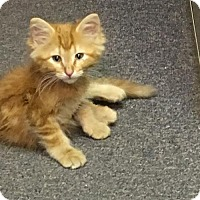 Adopt A Pet :: Winston - Arvada, CO