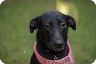 Labrador Retriever/Hound (Unknown Type) Mix Dog for adoption in Daleville, Alabama - Serenity