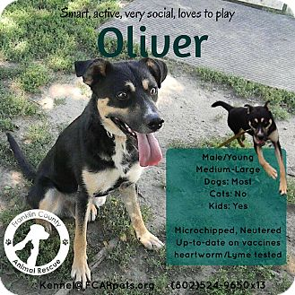 Husky/Schnauzer (Standard) Mix Dog for adoption in Jefferson, New Hampshire - Oliver