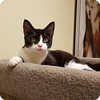 Domestic Shorthair Cat for adoption in Balto, Maryland - Panda