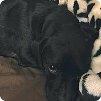 Adopt A Pet :: Little Foot - Clarksville, TN