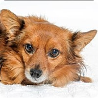 Chihuahua Mix Dog for adoption in San Luis Obispo, California - Cookie