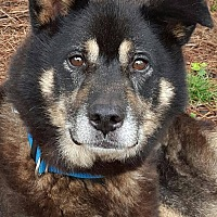 Husky/Shepherd (Unknown Type) Mix Dog for adoption in Kittery, Maine - Kensington *SEEKING DOG-SAVVY*