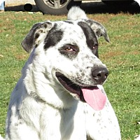 Retriever (Unknown Type)/Australian Cattle Dog Mix Dog for adoption in Unionville, Pennsylvania - Freckles