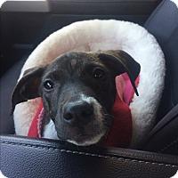 Adopt A Pet :: Mercy - Rochester, NH