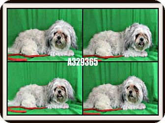 Shih Tzu Dog for adoption in St. Peters, Missouri - LILY