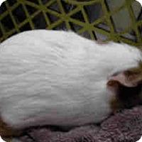 Adopt A Pet :: *Urgent* Hallie - Fullerton, CA