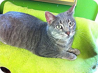 Domestic Shorthair Cat for adoption in Topeka, Kansas - Smoothie
