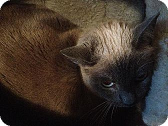 Snowshoe Cat for adoption in Arlington/Ft Worth, Texas - Lady