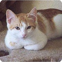 Domestic Shorthair Cat for adoption in Concord, California - Estee