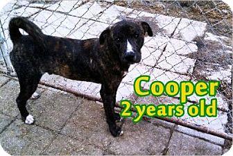 Plott Hound/Mountain Cur Mix Dog for adoption in Boaz, Alabama - Cooper