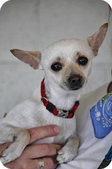 Yucaipa Ca Chihuahua Mix Meet Baby A Dog For Adoption