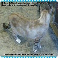 Adopt A Pet :: Cotton - Brandon, FL
