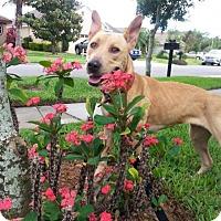 Adopt A Pet :: Nikki - Tampa, FL