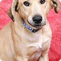 Adopt A Pet :: Mork Lab Mix - St. Louis, MO