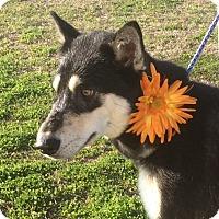 Adopt A Pet :: Bella - Trenton, NJ