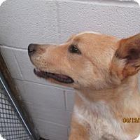 Adopt A Pet :: Bolt - Weatherford, TX