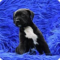 Adopt A Pet :: Garnet - Groton, MA