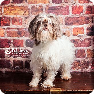 shih tzu rescue ohio cincinnati oh shih tzu mix meet zoey a dog for adoption 4499