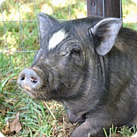 Adopt A Pet :: Millie the Pig - Homewood, AL