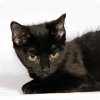 Domestic Shorthair Cat for adoption in Walworth, New York - Spyder