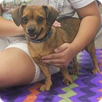 Dachshund Mix Dog for adoption in Mocksville, North Carolina - Joey