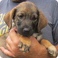 Adopt A Pet :: Sapphire - Germantown, MD