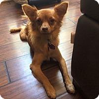Adopt A Pet :: Snickerdoodle AKA Charlie - Edmond, OK