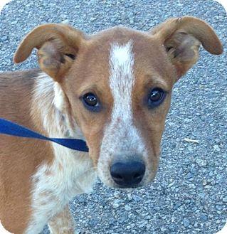 Australian Shepherd/Australian Cattle Dog Mix Puppy for adoption in Hagerstown, Maryland - Biscuit