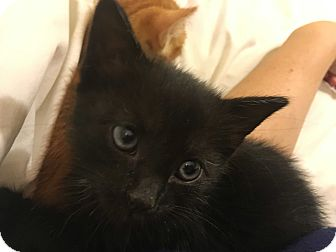 Domestic Shorthair Kitten for adoption in Brooklyn, New York - David Bowie