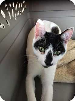 Domestic Shorthair Cat for adoption in Harrisburg, Pennsylvania - Pandora (female)