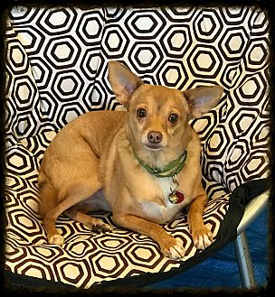 Chihuahua Dog for adoption in Los Alamitos, California - Nucky AKA Felipe