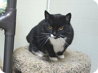 Domestic Shorthair Cat for adoption in Libby, Montana - Precious II