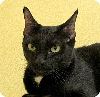 American Shorthair Cat for adoption in Eastsound, Washington - Mimi