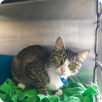 Domestic Shorthair Cat for adoption in Visalia, California - Zelda