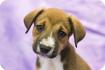 Labrador Retriever/Shepherd (Unknown Type) Mix Puppy for adoption in Houston, Texas - Natalie