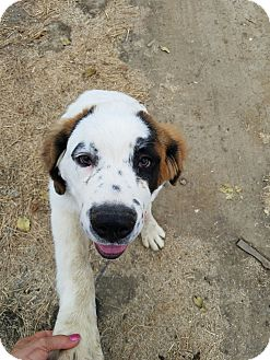 St. Bernard Puppy for adoption in Gustine, California - BEETHOVEN