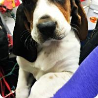 Adopt A Pet :: Slate - Virginia Beach, VA
