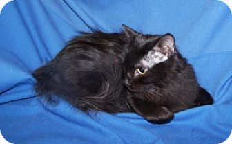 Domestic Mediumhair Cat for adoption in Colorado Springs, Colorado - Ranger